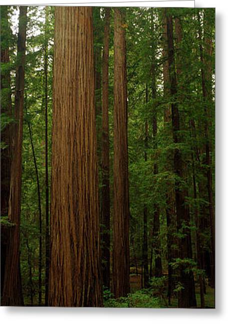 Forest Floor Greeting Cards - Giant Redwood Trees Ave Of The Giants Greeting Card by Panoramic Images