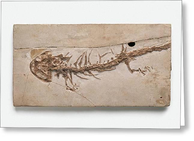 Giant Salamander Fossil Greeting Card by Dorling Kindersley/uig