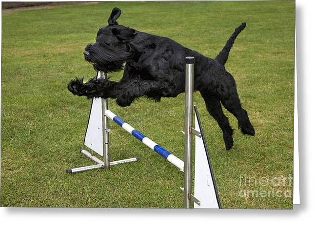 Giant Schnauzer Greeting Cards - Giant Schnauzer Jumping Greeting Card by Johan De Meester
