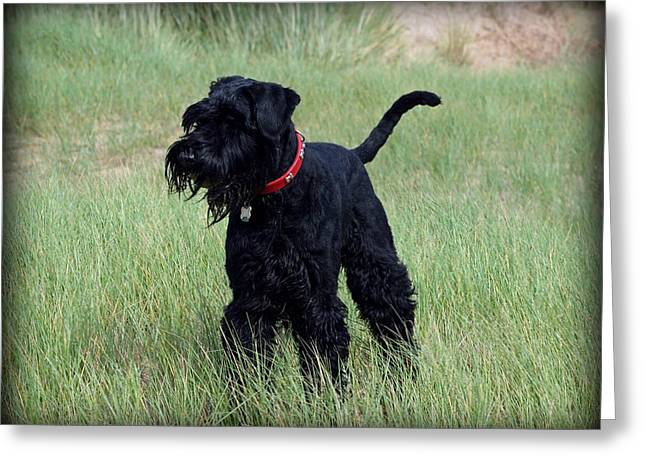 Working Dog Greeting Cards - Giant Schnauzer Greeting Card by Susan Tinsley