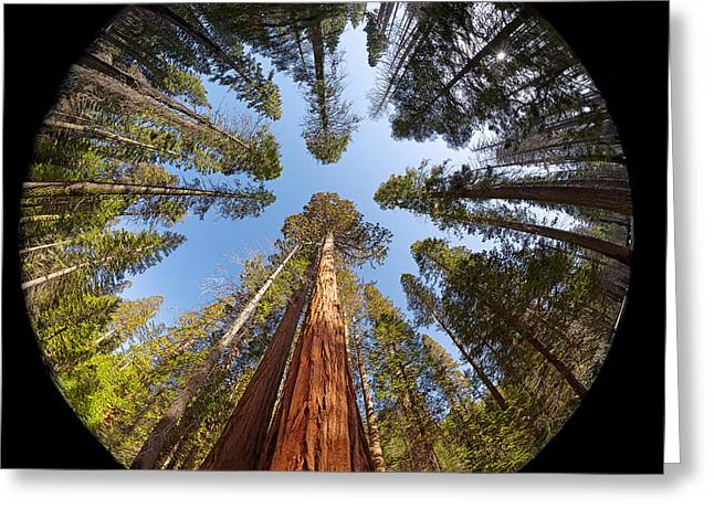 Sequoia Greeting Cards - Giant Sequoia Fisheye Greeting Card by Jane Rix