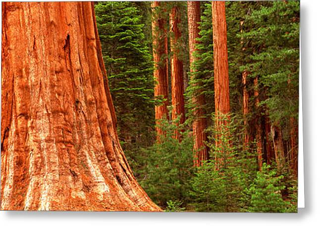 Sequoia Greeting Cards - Giant Sequoia Trees In A Forest Greeting Card by Panoramic Images