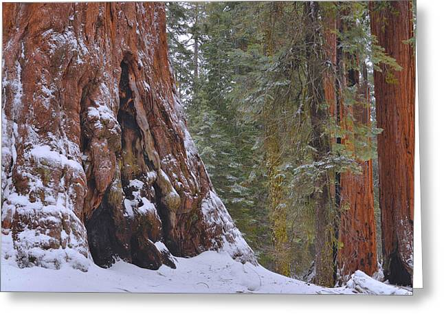 Kings Canyon Greeting Cards - Giant Sequoias - Grant Grove Greeting Card by Stephen  Vecchiotti