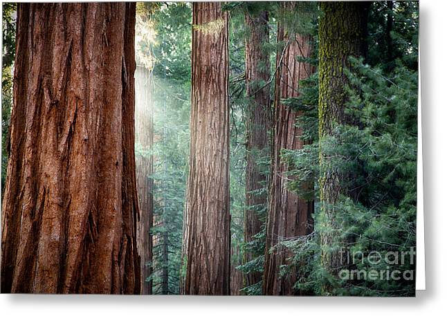 Giant Sequoias In Early Morning Light Greeting Card by Jane Rix