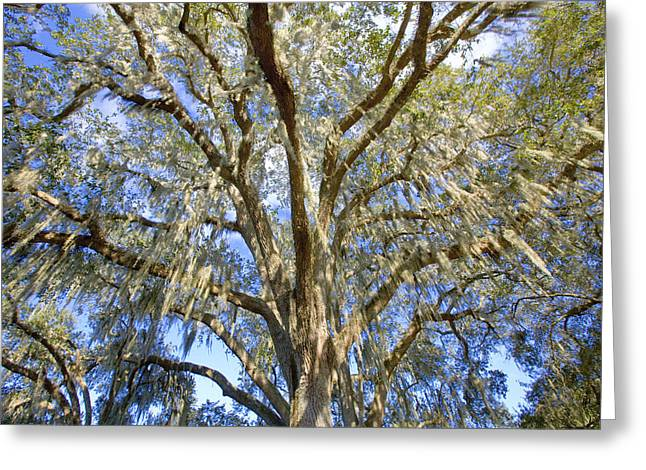 Historic Home Greeting Cards - Giant Southern Oak and Moss Greeting Card by Rich Franco