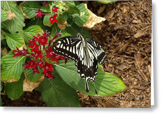 Moth Pyrography Greeting Cards - Giant Swallowtail butterfly Greeting Card by Barbara Lightner