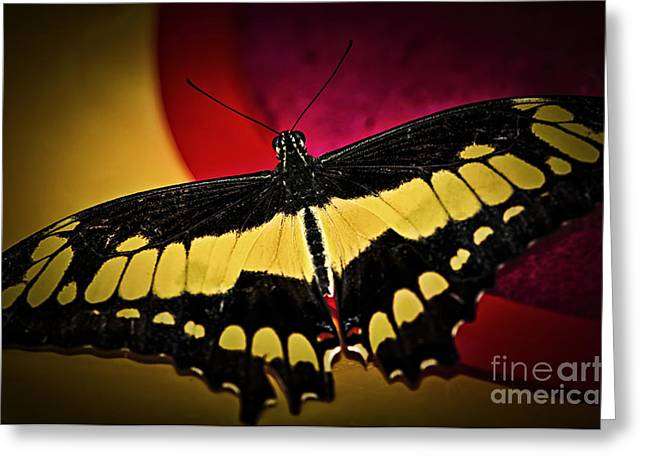 Swallowtail Greeting Cards - Giant swallowtail butterfly Greeting Card by Elena Elisseeva
