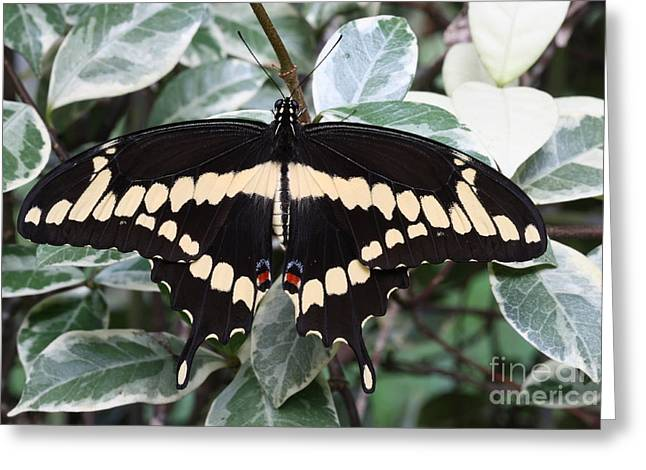 Eve Wheeler Greeting Cards - Giant Swallowtail H-1 Greeting Card by Eve Wheeler