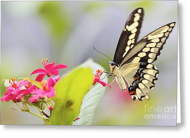 Pamela Gail Torres Greeting Cards - Giant Swallowtail II Greeting Card by Pamela Gail Torres