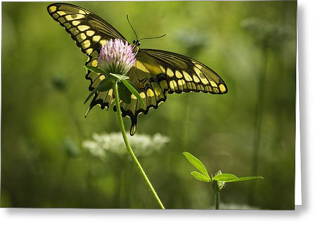 Kettle Moraine Greeting Cards - Giant Swallowtail On Clover 1 Greeting Card by Thomas Young
