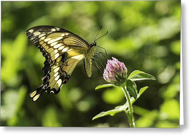 Kettle Moraine Greeting Cards - Giant Swallowtail On Clover 2 Greeting Card by Thomas Young