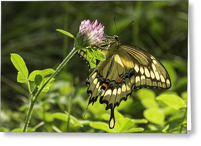 Kettle Moraine Greeting Cards - Giant Swallowtail On Clover 3 Greeting Card by Thomas Young