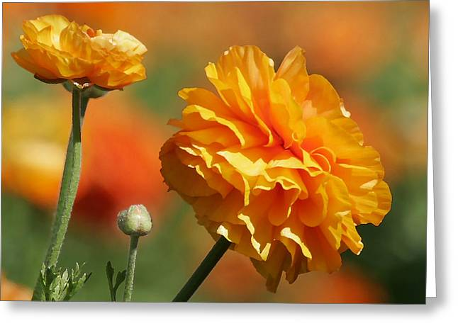 Cheery Greeting Cards - Giant Tecolote Ranunculus - Carlsbad Flower Fields CA Greeting Card by Christine Till