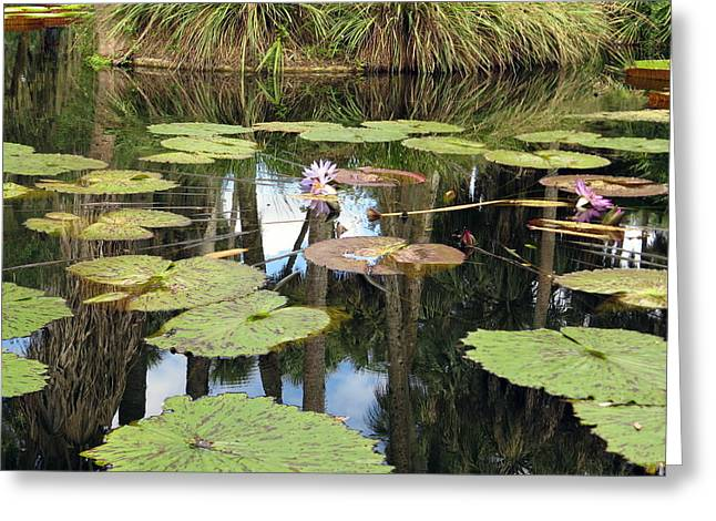 Victoria Cruziana Greeting Cards - Giant water lilies Greeting Card by Zina Stromberg