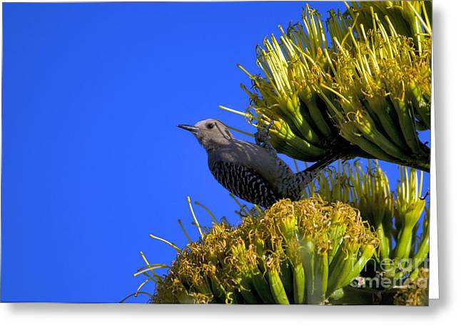 Gila Woodpecker Greeting Card by Mark Newman