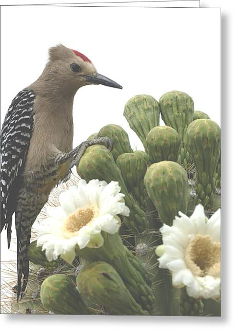 Rincon Greeting Cards - Gilla Feasting in Saguaro Blooms Greeting Card by Bryan Shane