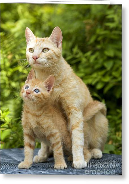 Domestic Pet Portraits.house Cat Greeting Cards - Ginger Cat And Kitten Greeting Card by Jean-Michel Labat
