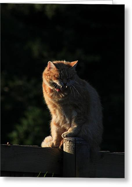 Growling Greeting Cards - Ginger cat yawning on garden fence Greeting Card by Turnip Towers