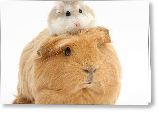 House Pet Greeting Cards - Ginger Guinea Pig And Roborovski Hamster Greeting Card by Mark Taylor