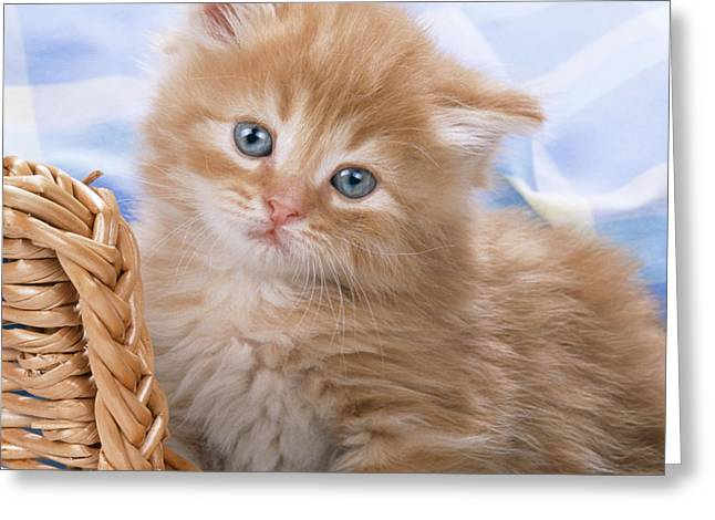 Domestic Pet Portraits.house Cat Greeting Cards - Ginger Kitten In Basket Greeting Card by John Daniels