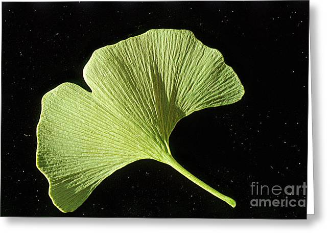Medicinal Plant Greeting Cards - Ginkgo Leaf Greeting Card by William H. Mullins