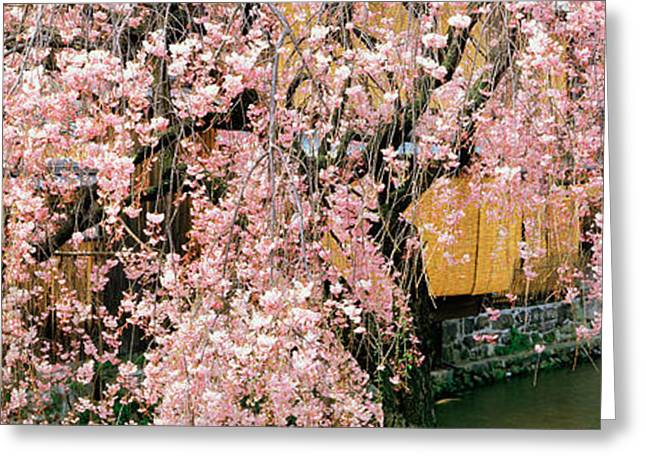 Pink Flower Branch Greeting Cards - Gionshirakawa Cherry Blossom Kyoto Japan Greeting Card by Panoramic Images