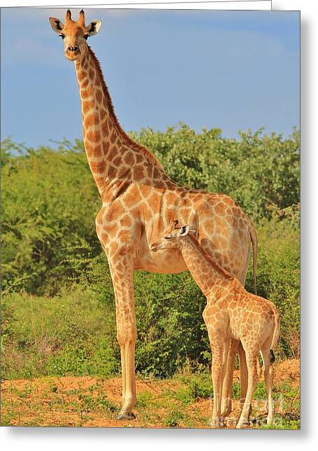 Animals Love Greeting Cards - Giraffe - African Wildlife Background - Baby Animal Greeting Card by Hermanus A Alberts