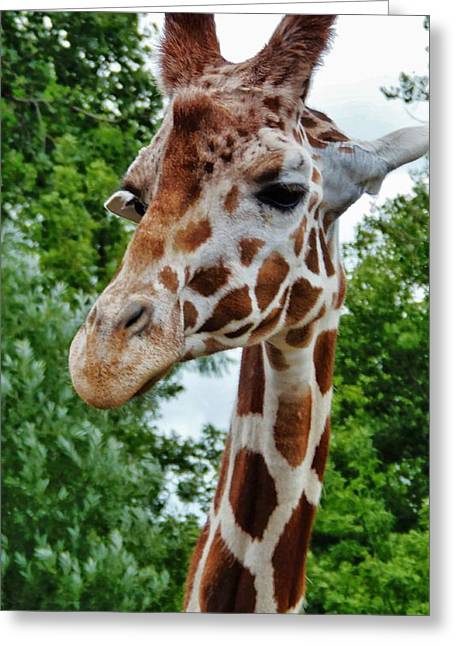 Family Walks Mixed Media Greeting Cards - Giraffe 4 Greeting Card by Todd and candice Dailey