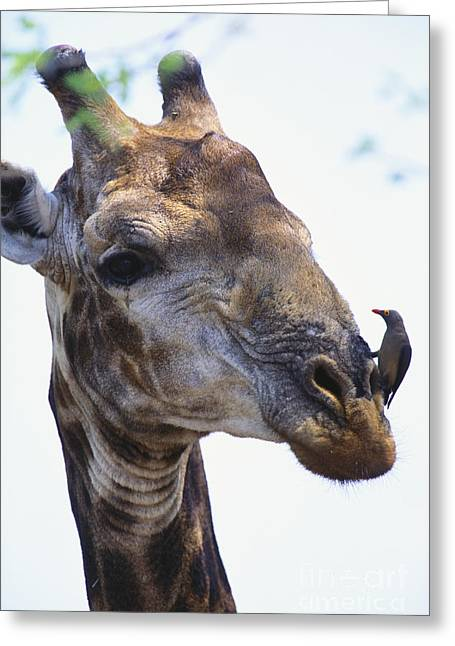 Differential Focus Greeting Cards - Giraffe And Oxpecker Greeting Card by Art Wolfe
