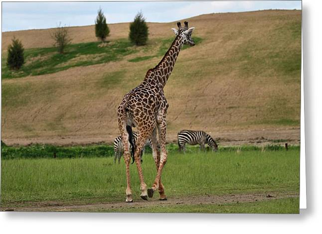 Zebra Eating Greeting Cards - Giraffe And Zebra Greeting Card by Dan Sproul