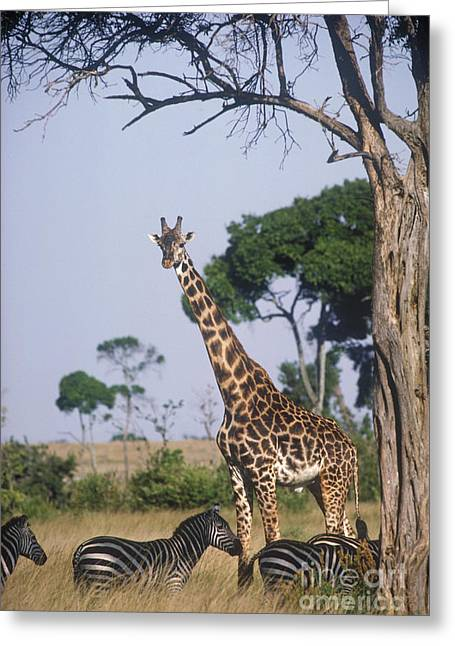 Mixed Species Greeting Cards - Giraffe And Zebras Greeting Card by Gregory G. Dimijian