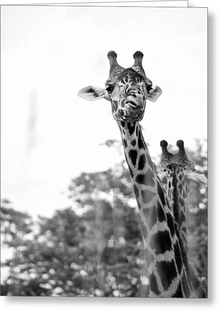 Black_white Photography Greeting Cards - Giraffe Greeting Card by Andrea Bruns