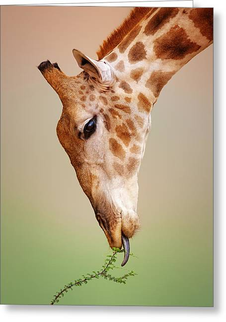 Eat Photographs Greeting Cards - Giraffe eating close-up Greeting Card by Johan Swanepoel