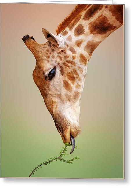 Thorns Greeting Cards - Giraffe eating close-up Greeting Card by Johan Swanepoel