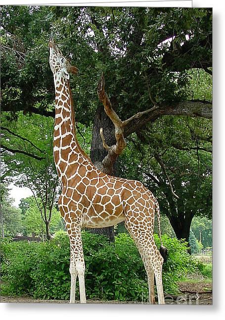 Giraffe Eats-09053 Greeting Card by Gary Gingrich Galleries