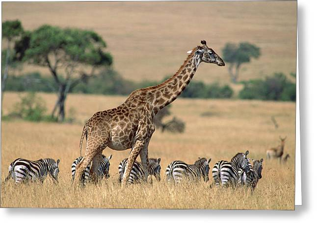 Ai Greeting Cards - Giraffe Giraffa Camelopardalis Greeting Card by Ferrero Labat