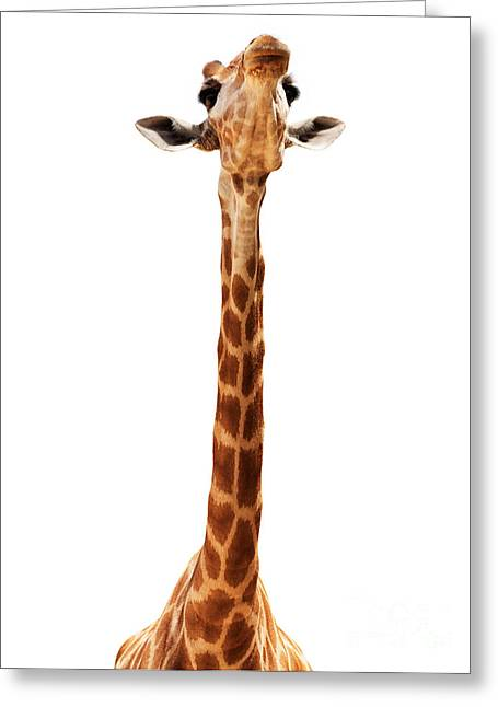 Mythja Greeting Cards - Giraffe head isolate on white Greeting Card by Mythja  Photography