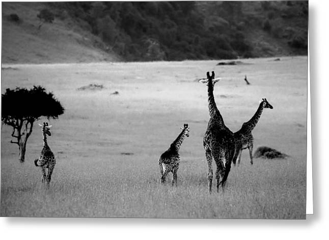 Black Greeting Cards - Giraffe in Black and White Greeting Card by Sebastian Musial