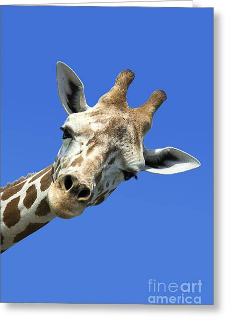Humor Greeting Cards - Giraffe Greeting Card by John Greim