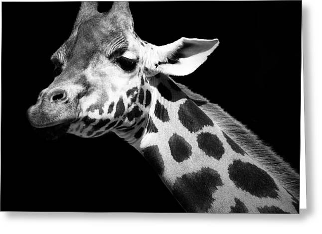 Giraffe Greeting Cards - Portrait of Giraffe in black and white Greeting Card by Lukas Holas