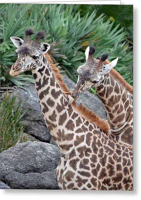 Patch Greeting Cards - Giraffe Massage Greeting Card by Richard Bryce and Family