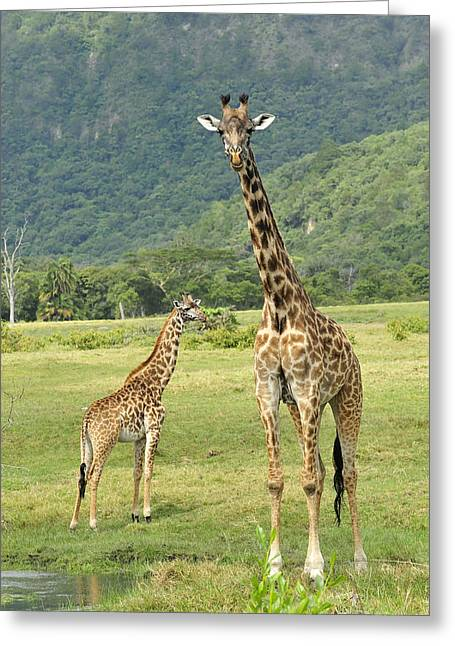Giraffe Mother And Calftanzania Greeting Card by Thomas Marent