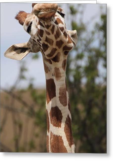 Giraffe Neck And Teeth Greeting Card by Dan Sproul