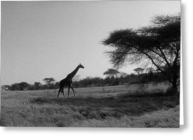 Extinction Greeting Cards - Giraffe On The Plains, Kenya, Africa Greeting Card by Panoramic Images