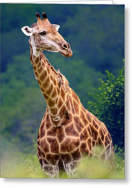 Lush Greeting Cards - Giraffe portrait closeup Greeting Card by Johan Swanepoel