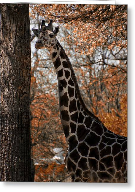 Autumn Colored Quilts Greeting Cards - Giraffe Posing Greeting Card by Thomas Woolworth