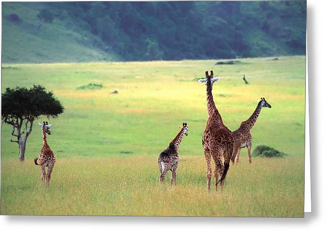 Endangered Species Greeting Cards - Giraffe Greeting Card by Sebastian Musial