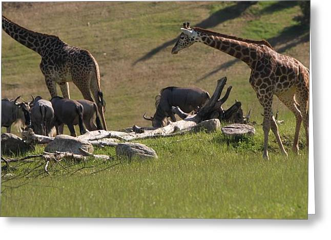 Great Migration Greeting Cards - Giraffes And Wildebeest African Safari Greeting Card by Dan Sproul