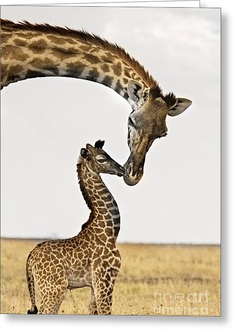 Giraffe Greeting Cards - Giraffes First Kiss Greeting Card by Carol Walker