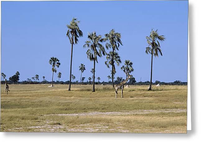 Zimbabwe Photographs Greeting Cards - Giraffes Giraffa Camelopardalis Greeting Card by Panoramic Images